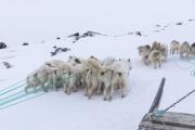 _M4_0708-psy-husky-zaprzeg-Grenlandia
