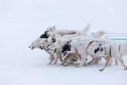 _M4_0733-psy-husky-zaprzeg-Grenlandia