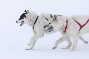 _M4_0772-psy-husky-zaprzeg-Grenlandia