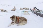_M4_0834-psy-husky-zaprzeg-Grenlandia