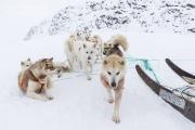 _M4_0888-psy-husky-zaprzeg-Grenlandia
