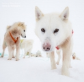 _M4_0933-psy-husky-zaprzeg-Grenlandia