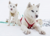 _M4_0940-psy-husky-zaprzeg-Grenlandia