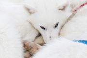 _M4_0988-psy-husky-zaprzeg-Grenlandia