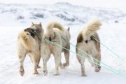 _M4_1056-psy-husky-zaprzeg-Grenlandia