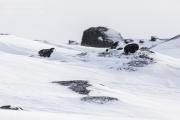 _M4_1099-psy-husky-krajobraz-Grenlandia