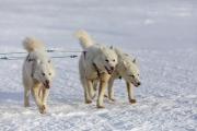 _M4_1197=psy-husky-zaprzeg-Grenlandia