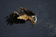 Zdjęcie: Staffan Widstrand / www.wild-wonders.com