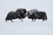 Zdjęcie: Vincent Munier / www.wild-wonders.com