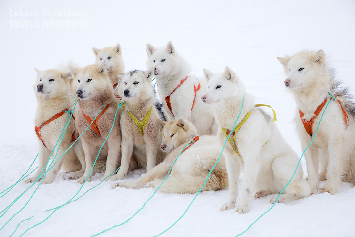 Psy haskie na Grenlandii